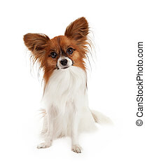 A pretty sable and white color Papillon Dog sitting and looking attentively at the camera