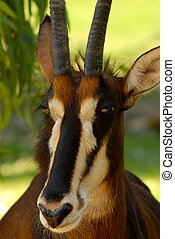 A Portrait of sable antelope (hippotragus niger).