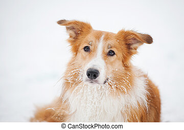 dog border collie portrait in winter - sable dog border...