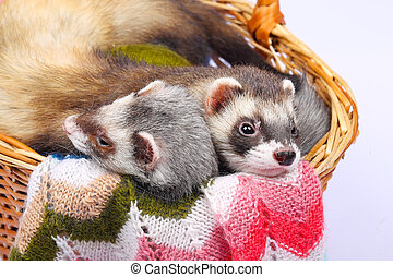 Sable ferret in basket