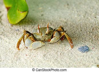 sable, haut, crabe, grand, regarder
