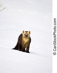 Sable. - Sable, in a habitat of dwelling. Russia. Kamchatka.