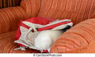 sac à dos, vilain, jouer, chaton