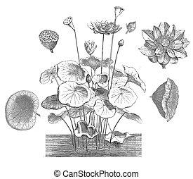 sacré, nucifera), lotus, (nelumbo