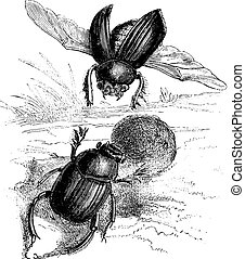 Sacred beetle of the Egyptians, vintage engraving.