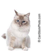 Sacred Birman in front of a white background
