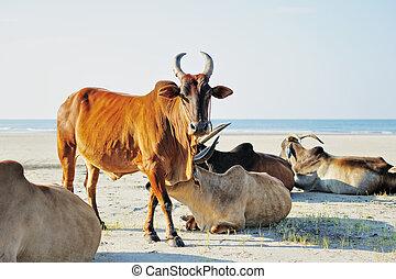 Sacred Cow  - Indian sacred cows on the beach. Goa