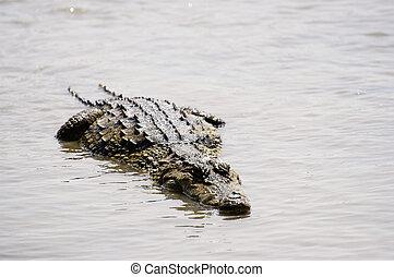 crocodiles - Sacred crocodiles of Sabou in Burkina Faso