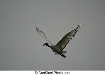 sacred ibis landing