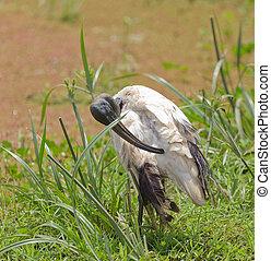 Sacred Ibis (Threshkiornis aethiopicus) preening