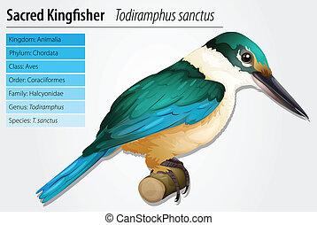 Sacred Kingfisher - Sacred kingfisher - Todiramphus sanctus