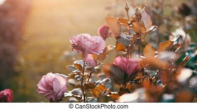 Sad autumn roses in decay garden backlit, colorized toned...