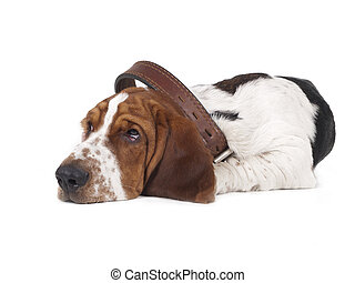 sad basset lies in the large collar on a white background