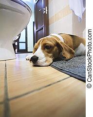 Sad beagle dog laying on a carpet in the bathroom