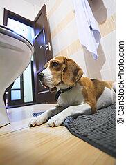 Sad beagle dog laying