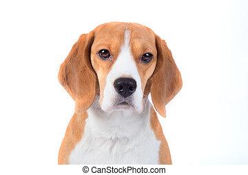 Sad beagle dog portrait