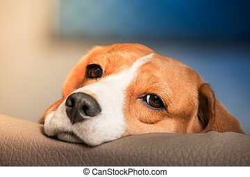 Sad beagle dog portrait. Tired beagle dog close-up.