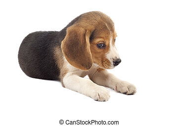 sad beagle puppy (3 months) in front of white back ground