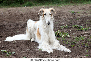 Borzoi hound - Sad Borzoi hound lying on the background of...