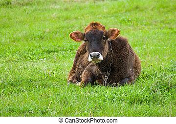 Sad bull-calf on a spring pasture at rainy day