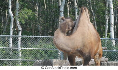 Sad Camel in the zoo