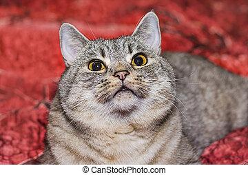 cat breed British Shorthair
