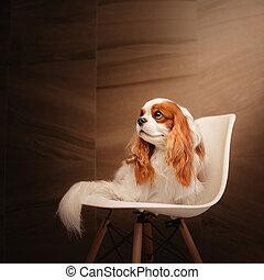 sad cavalier king charles spaniel dog sitting on a white chair
