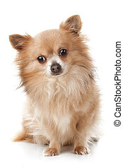 Sad chihuahua sitting in front of white background