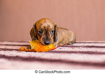 Small red brindle dachshund puppy chewing on a orange autumn maple leaf on a table indoors