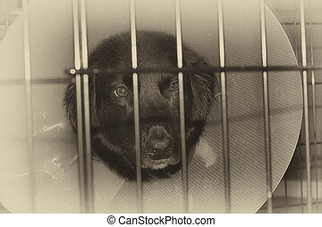 Monochrome image of a sad injured dog with protective cone in a cage.