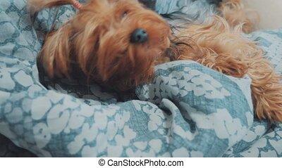 sad dog is sleeping. little sad shaggy the dog sleeps sick...