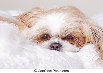 Sad Dog laying down - Sad dog laying down on white blanket, ...