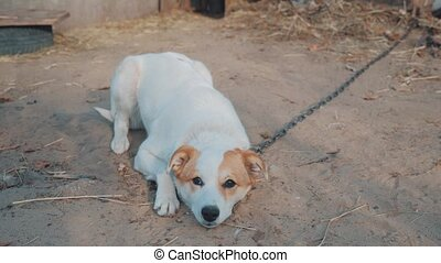 sad dog sits on a chain lies on the ground and wags its tail...