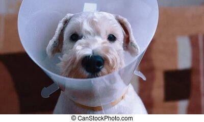 Sad dog sitting sick with vet plastic collar