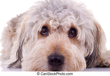 sad eyes of a bearded collie also known as Highland collie, Mountain collie isolated on a white background