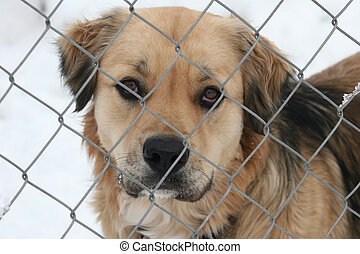 Sad Eyes - A sad-eyed dog (Canis lupus familiaris)looks...