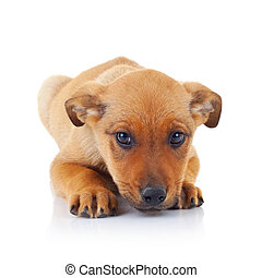 sad face of a brown stray puppy dog lying on white background
