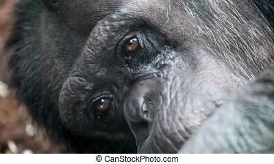 sad face of a gorilla