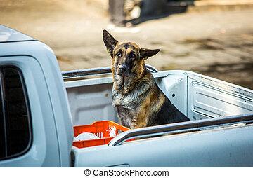 Sad German shepherd in the truck