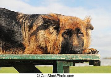 sad german shepherd