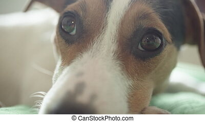 sad Jack Russell Terrier dog looking at the camera