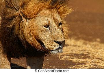 Sad Lion Head Shot