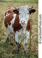 sad looking cow