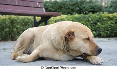 Sad looking dog lying in the sidewalk and looking around,...