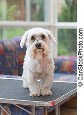 Sad Maltese dog after grooming
