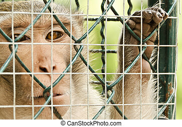 sad Monkey Caged - Close up of monkey looking out through...
