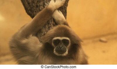 Sad monkey in the zoo - Sleepy monkey behind the glass in...