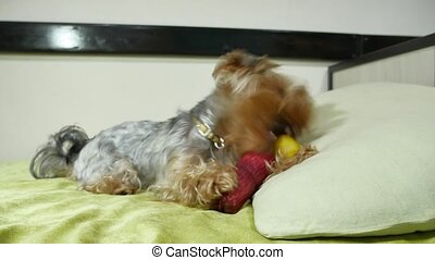 Sad pet Yorkshire Terrier bites a rubber toy indoors lying...
