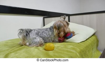Sad pet Yorkshire Terrier bites a rubber toy lying indoors...
