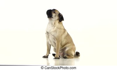 Sad pug is sitting and begging for dry food. White...